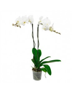 Phalaenospsis - 2 tiges