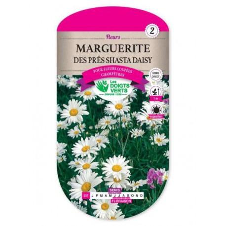 Marguerite DES PRES SHASTA DAISY