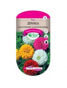 Zinnia GEANT DOUBLE A FLEUR DE DAHLIA