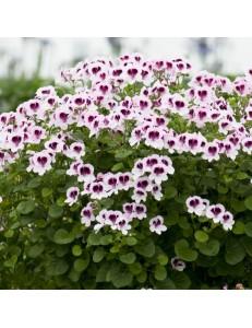 Pelargonium anti-moustique